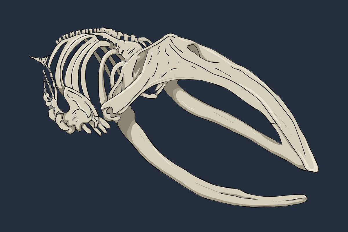 Hull Maritime Museum illustration - Whale skeleton